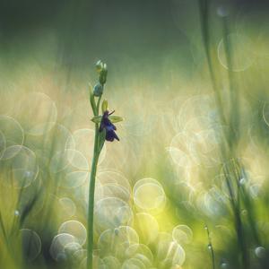 Orchidea našich lúk III.