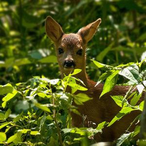 Malí zvedavec