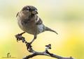 vrabec domáci-Passer domesticu