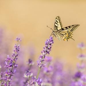 Motýľ Levanduľový