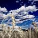 pšenica a obloha