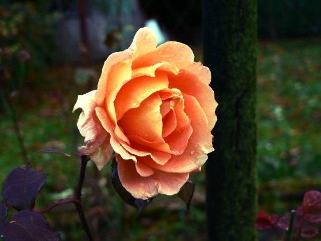 Ruza v zahrade