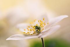 Anemone...