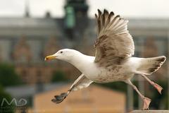 Svedsky take off