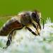 včela III.