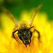 nahnevaná včela