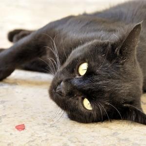 Jeruzalemská mačka