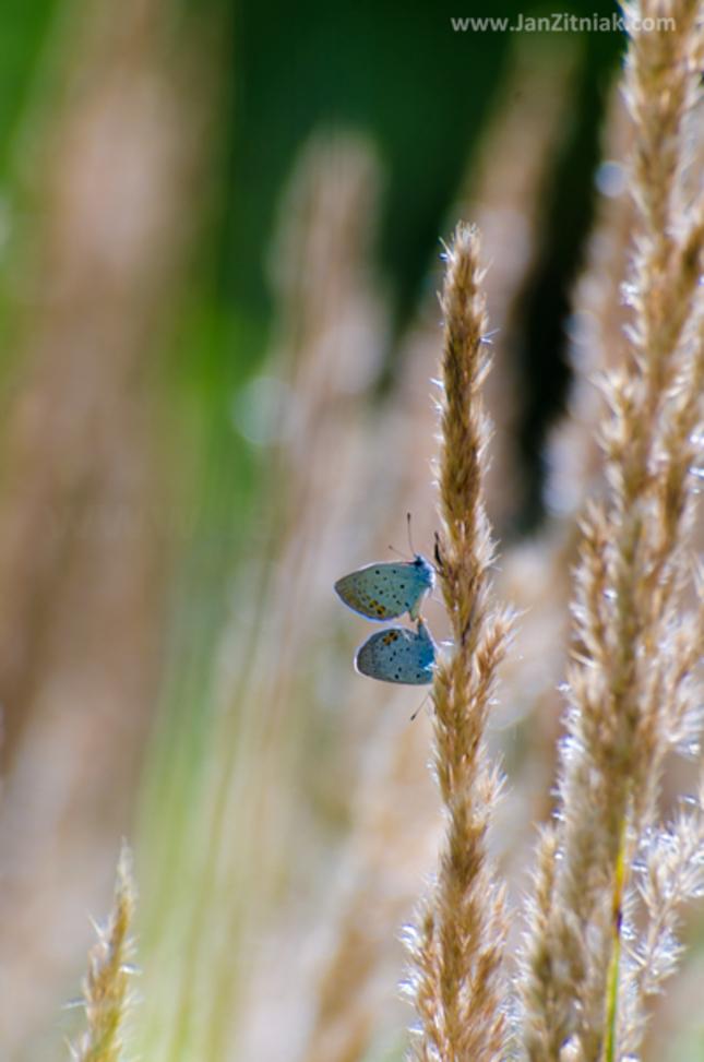 Motýlia láska