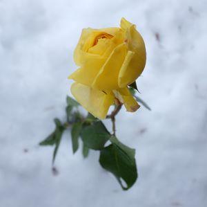 Zimná ruža