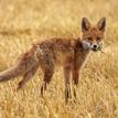 Mladá líška