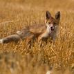 Mladá líška 2