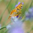 Zasnený motýľ