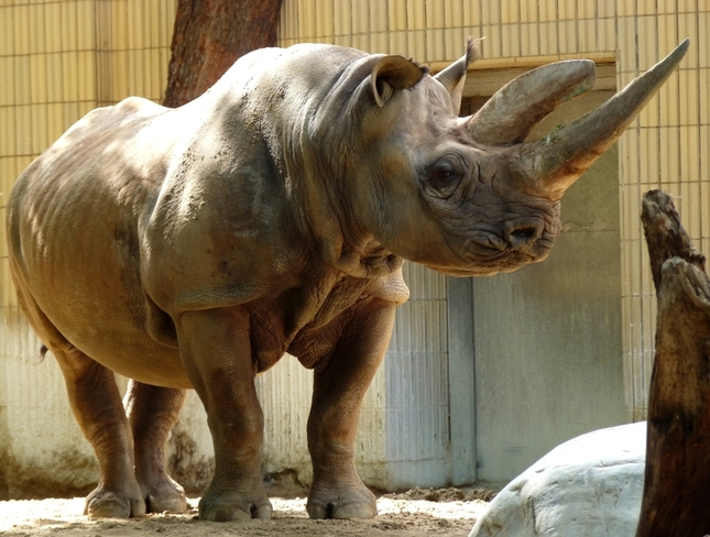 smutna nosorozia slecna