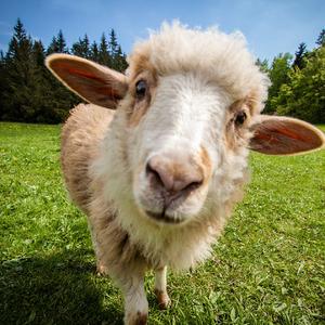 Zo života ovce