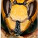 Sršeň obyčajný (Vespa crabro)