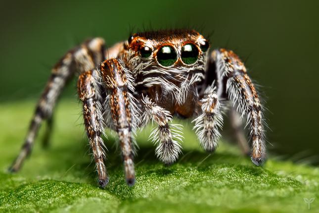 """jumping spider"""