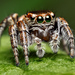 """jumping spider"""