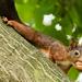 """""""veverica stromova"""""""