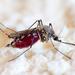 Komár dotieravý (Culex molestus)