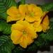 Žltá kytička