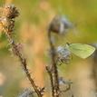 Pichliač a motýľ