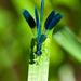 Hadovka-leskla-(Calopteryx-splen