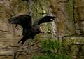 The Waldrapp Ibis