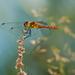Vážka červená (Crocothemis eryth