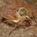 Chrúst obyčajný (Melolontha melo