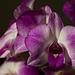 Orchidea_I