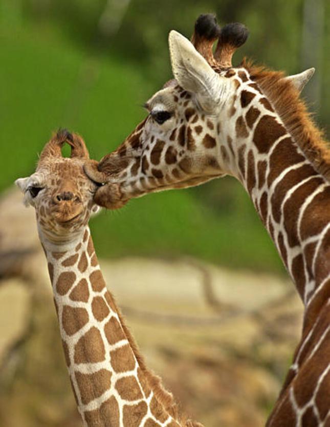 Žirafy in love