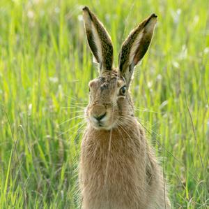 Zvedavý zajac II