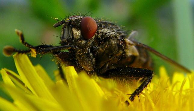 Som včela a či mucha??