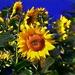 Impresionistická slnečnička
