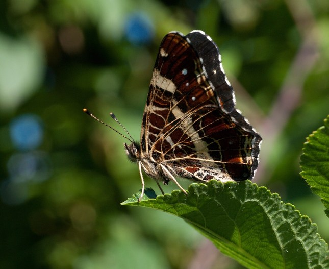 Motylik