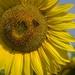 Slniečko slnečnicová 4