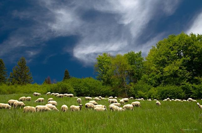 Ovce moje ovce 5