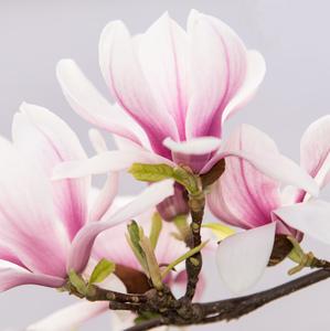 Magnolia v rozkvete 2