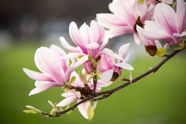 Magnolia v rozkvete