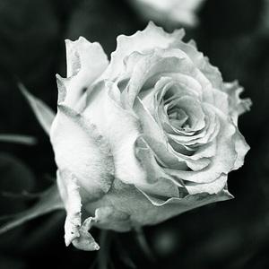 ruža3