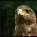 Orol stepný (Aquila nipalensis)