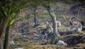 Muflón lesný