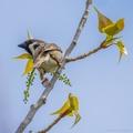 Vrabec poľný