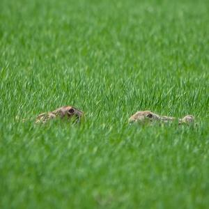 Zajac poľný