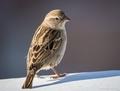 Vrabec domový