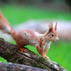 veverica stromová