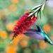 kolibrík 1