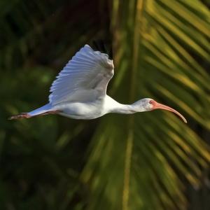 ibis biely