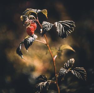 Pochmúrne maliny