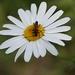 fuzač obyčajný - Corymbia rubra